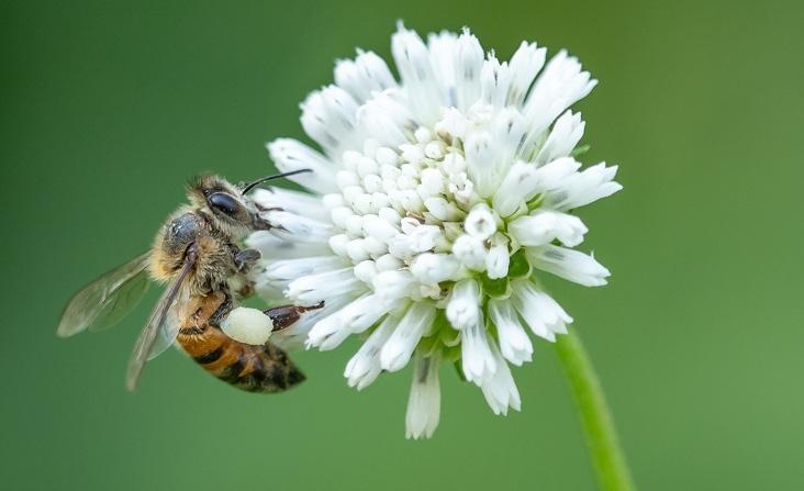 Bee pollenating